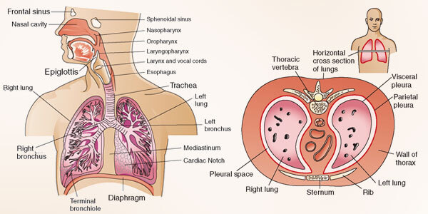 how does the respiratory system work to sustain life, Human Body