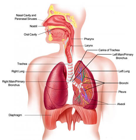 The Respiratory System of The Human Body