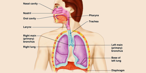 and lower structure of the respiratory system in males and females, Human Body